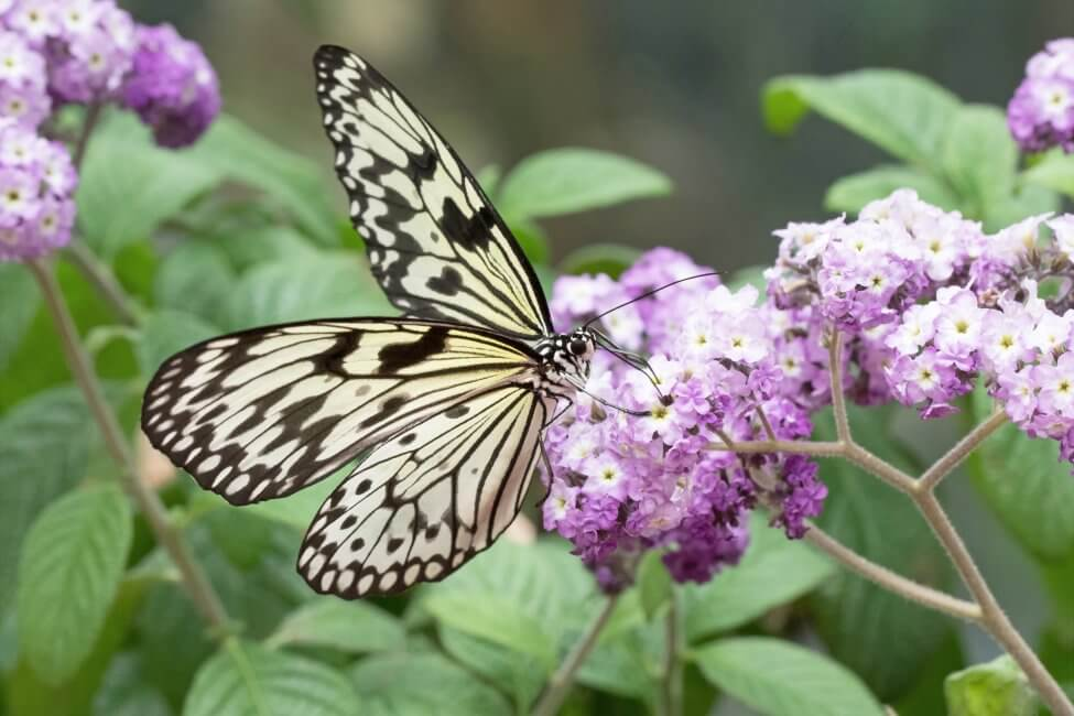 Uses and Benefits of Heliotrope Flowers