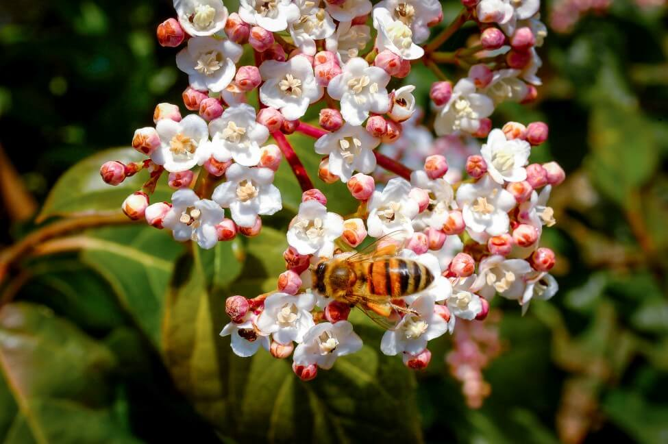 Uses and Benefits of Viburnum Flowers