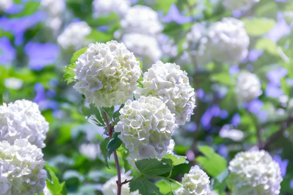 Viburnum Flower Meaning & Symbolism