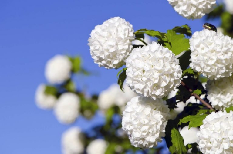Viburnum Flower Meaning, Types, and Growing Tips