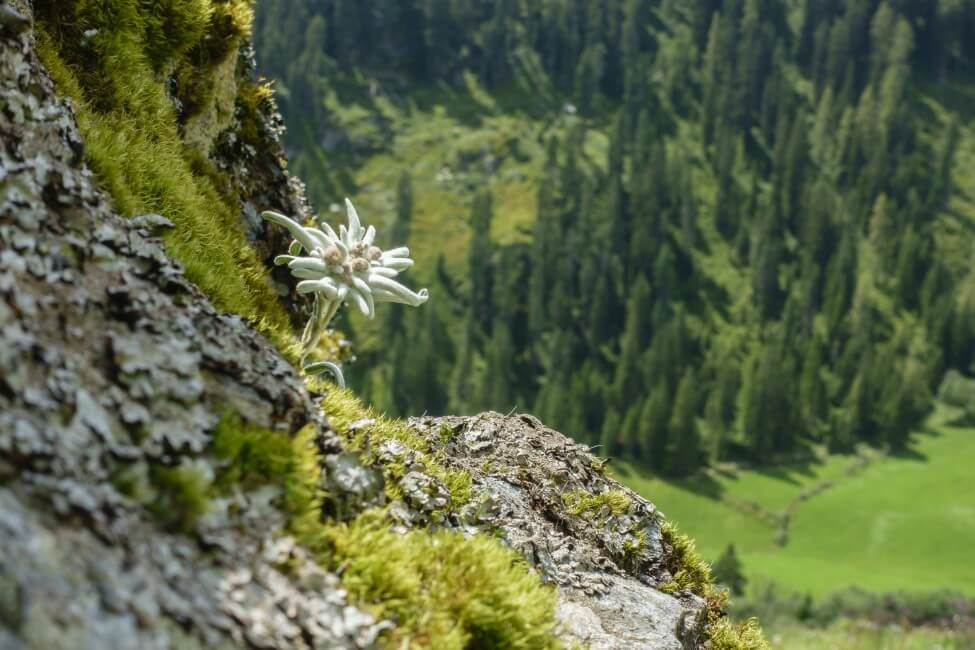 What Regions Are Edelweiss Flowers Native To