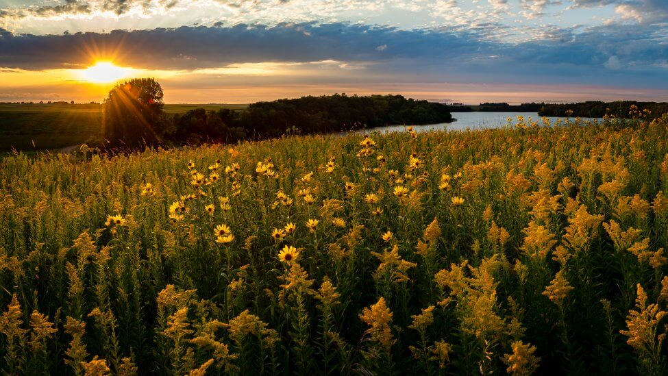 What Regions Are Goldenrod Flowers Native To