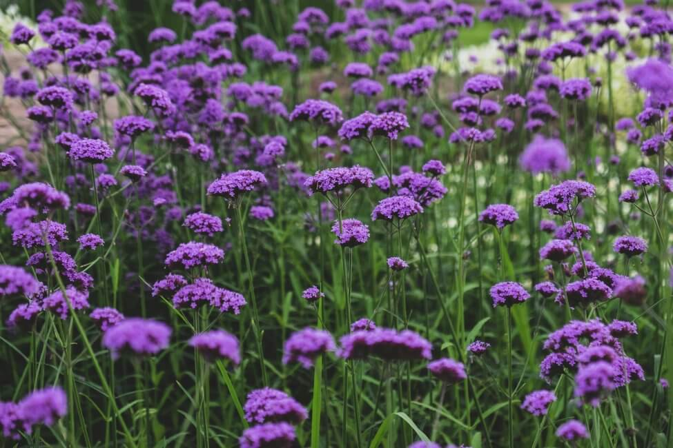 What Regions are Heliotrope Flowers Native To