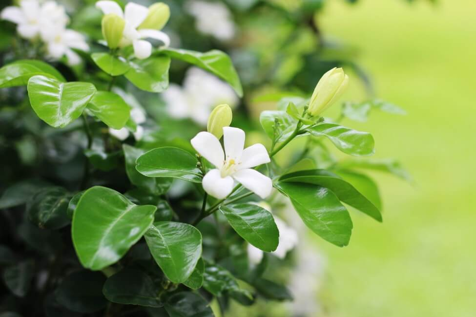What regions are Gardenia Flowers native to