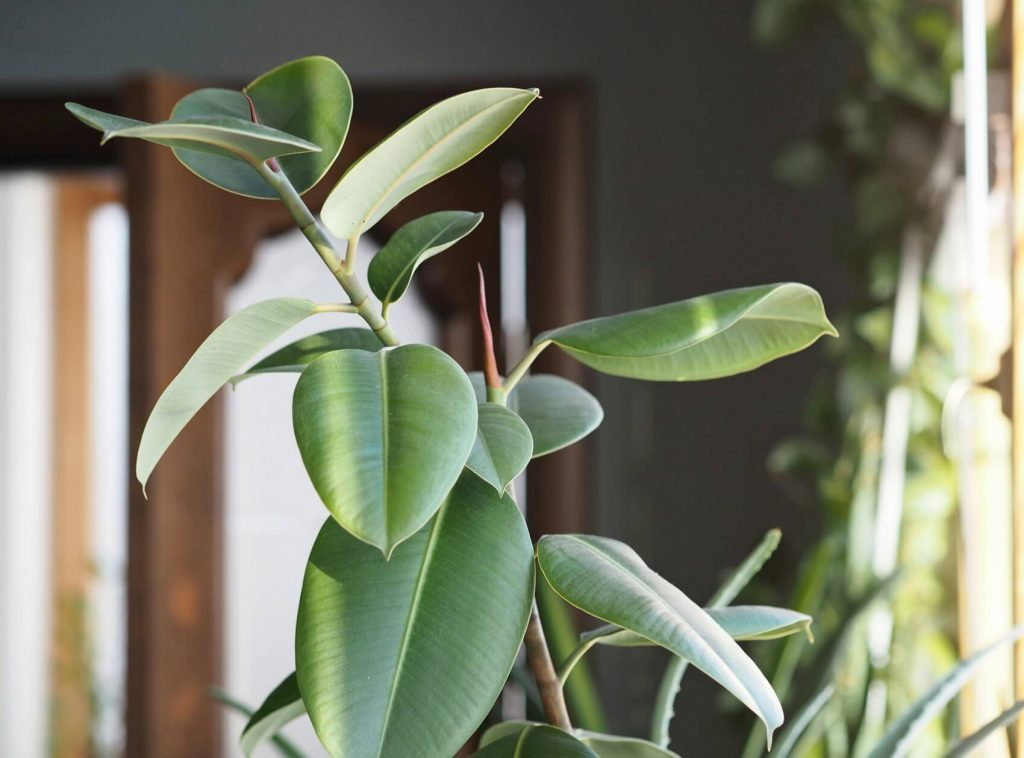 When and How to Water Rubber Tree Plants
