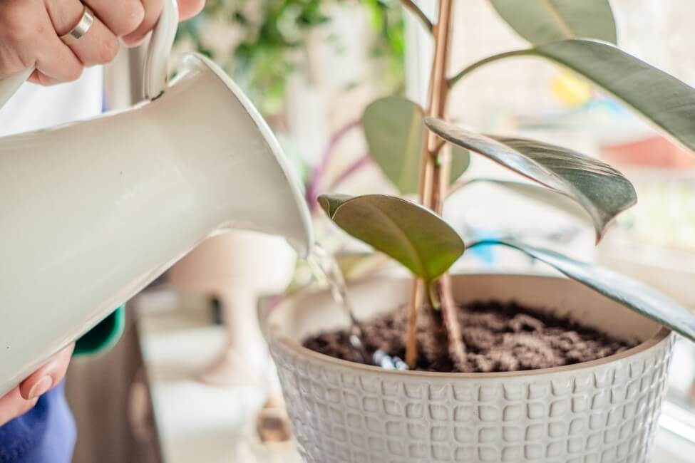 When to Water Rubber Tree Plants