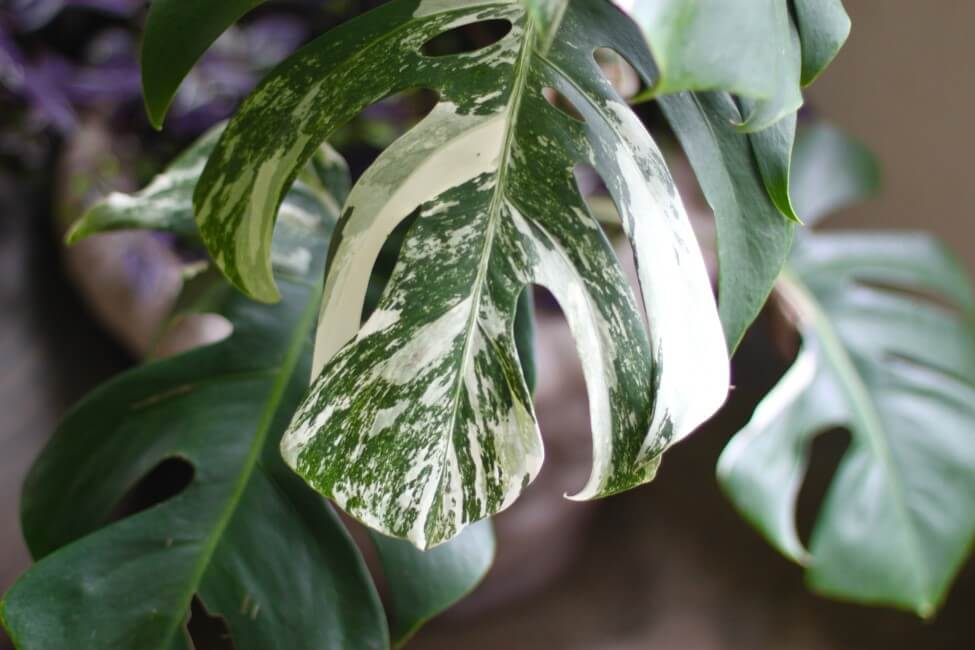 Where Can You Buy a Variegated Monstera