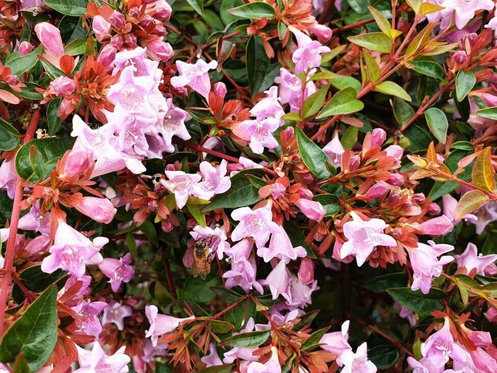 Abelia (Abelia) Pink Flowers
