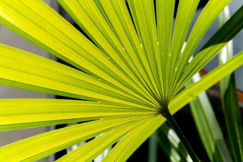About Broadleaf Lady Palm (Rhapis excelsa)