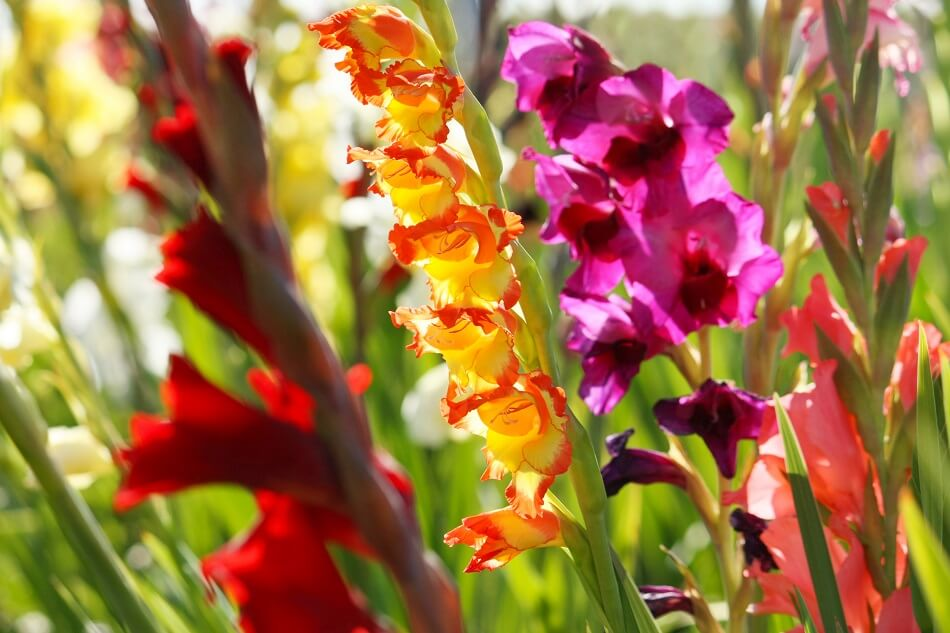 About Gladiolus Flowers