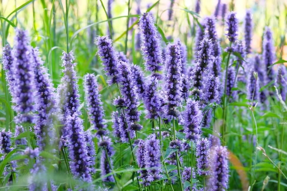 About Hyssop