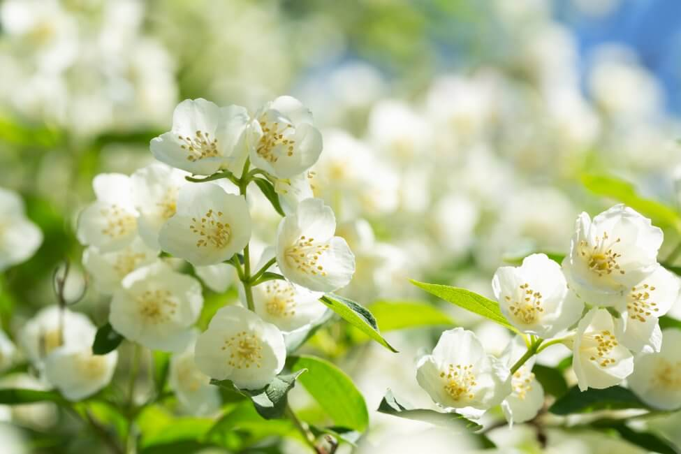 About Jasmine Plants