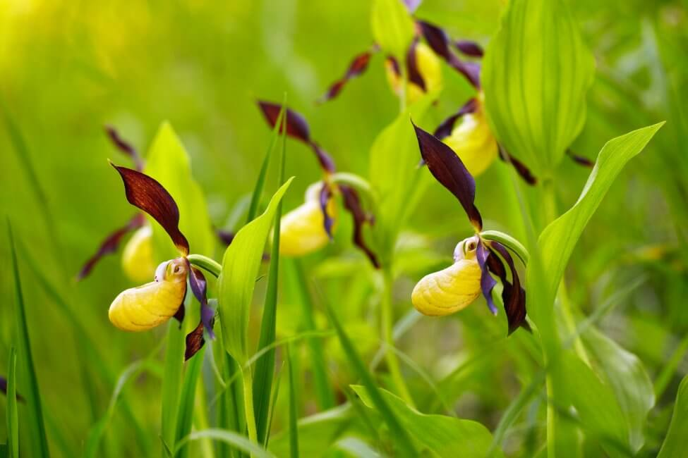 About Lady's Slipper Orchids Plants