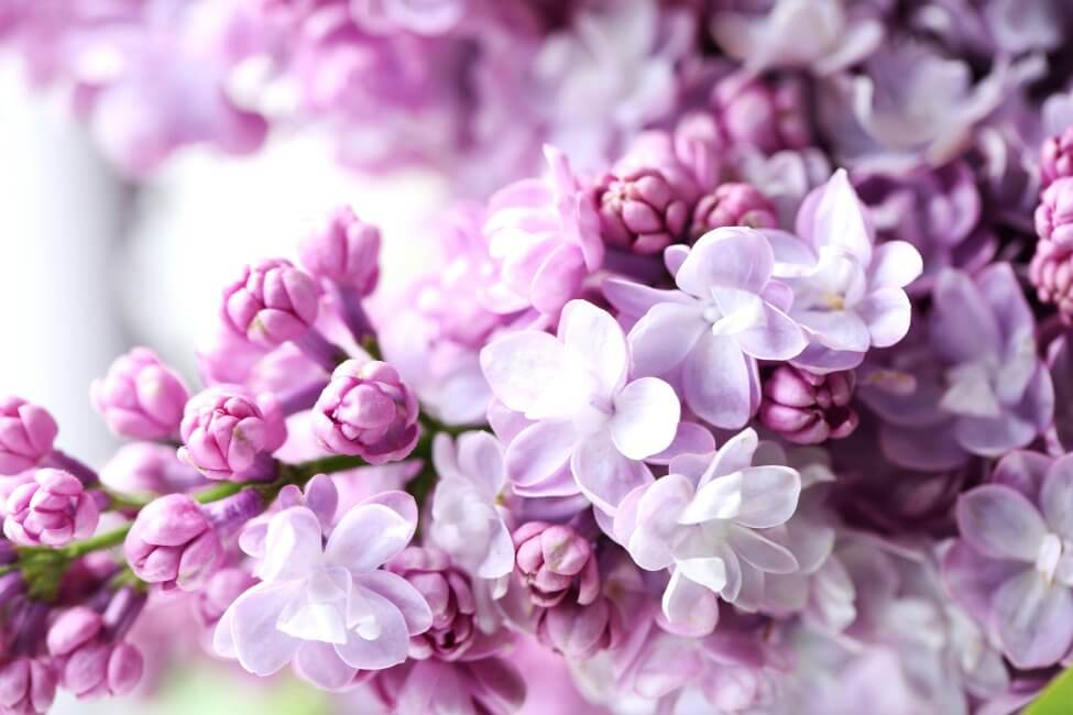 About Lilac Flowers