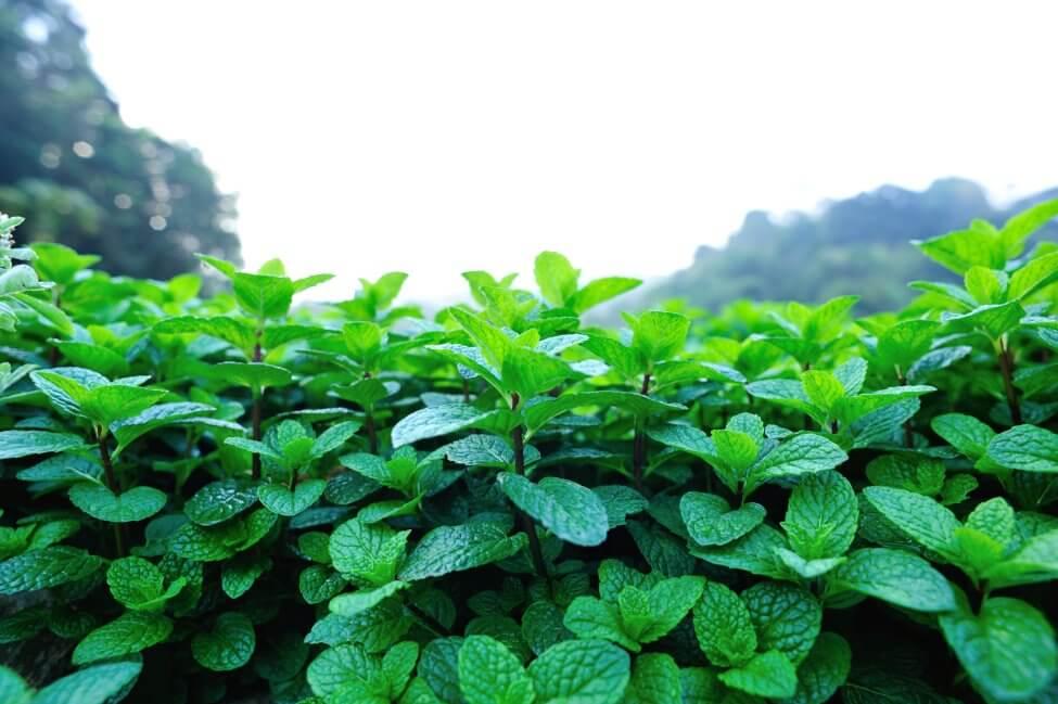 About Mint Plants