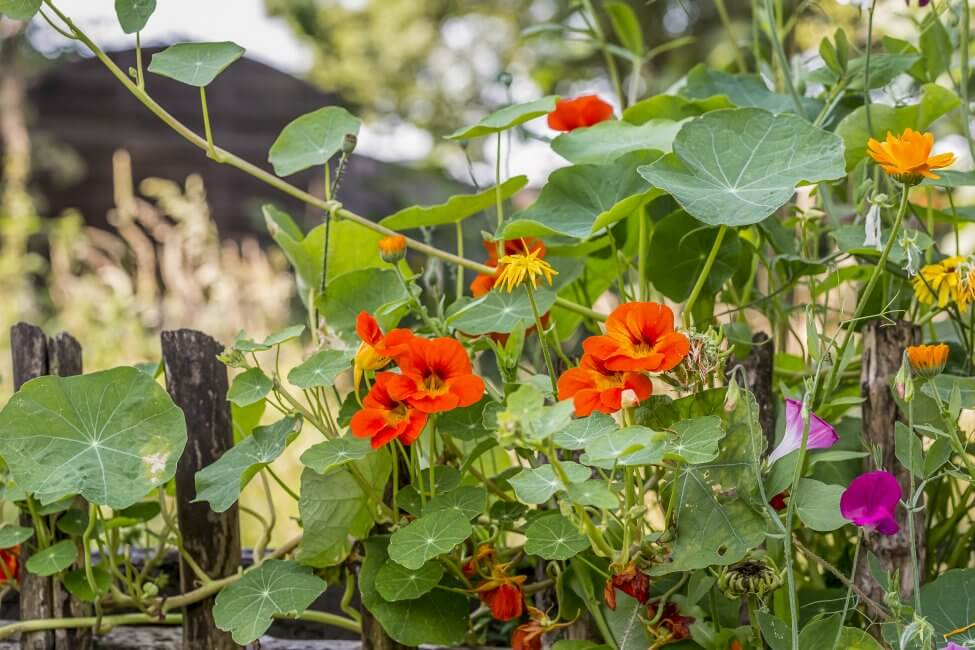 About Nasturtium Flowers