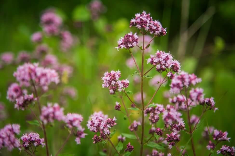 About Oregano Plants