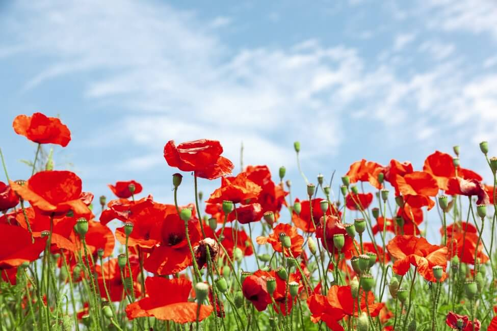 About Poppy Flowers