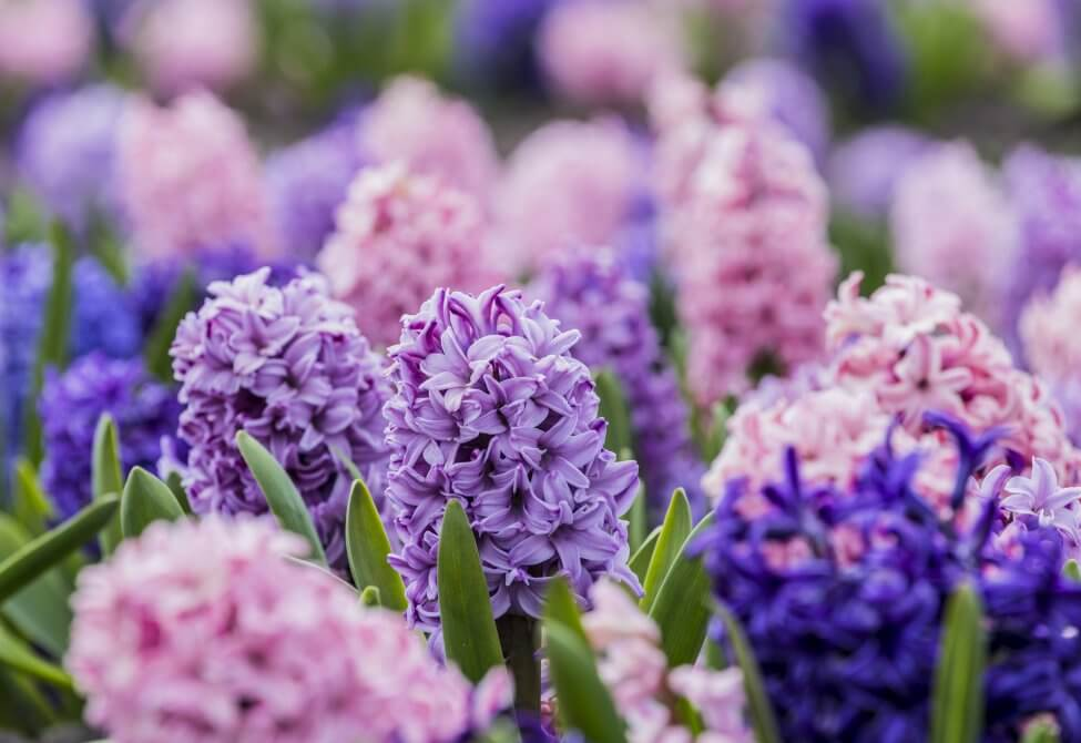 About the Hyacinth Flower