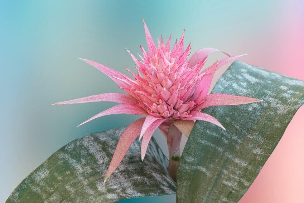 Aechmea Bromeliad (Aechmea spp.)