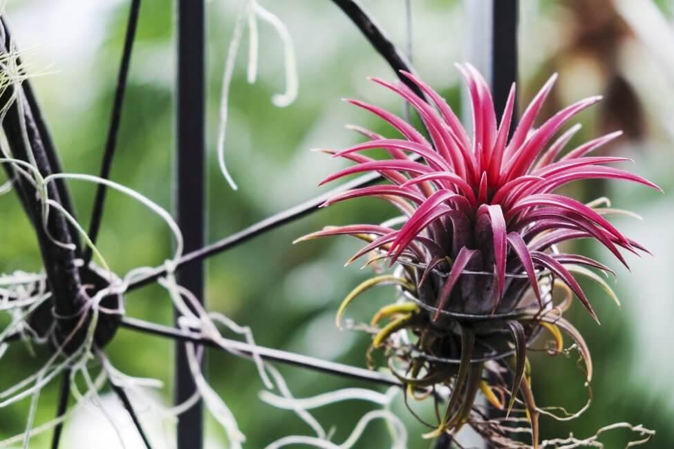 Air Plants (Tillandsia spp.)