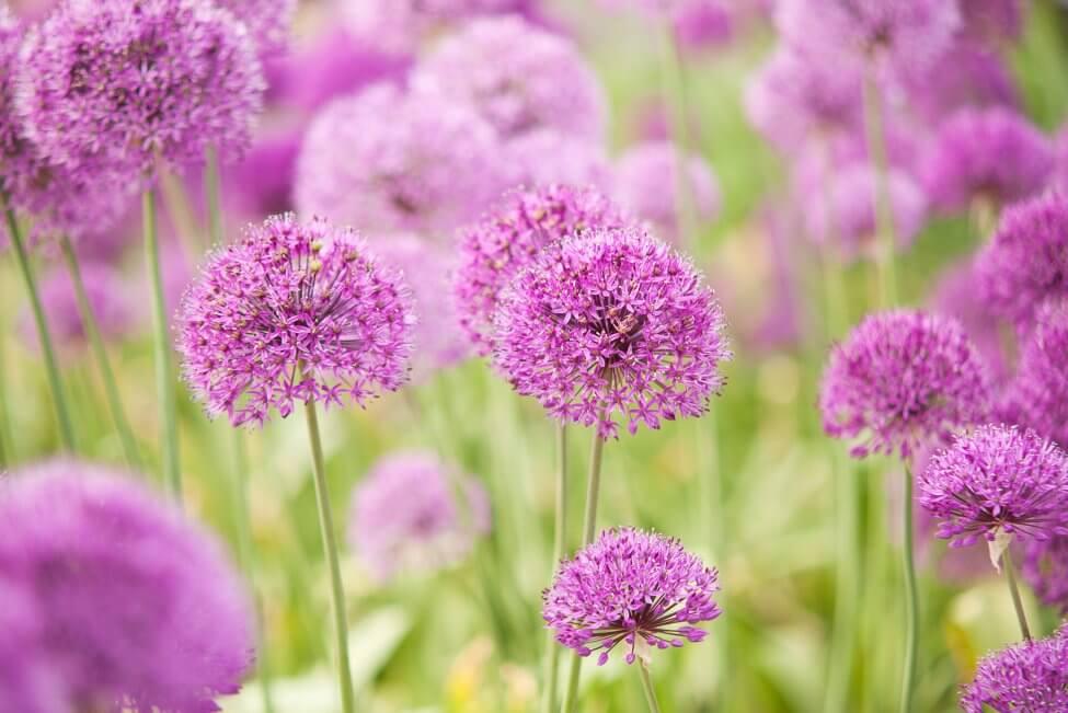 Allium (Allium) Pink Flowers