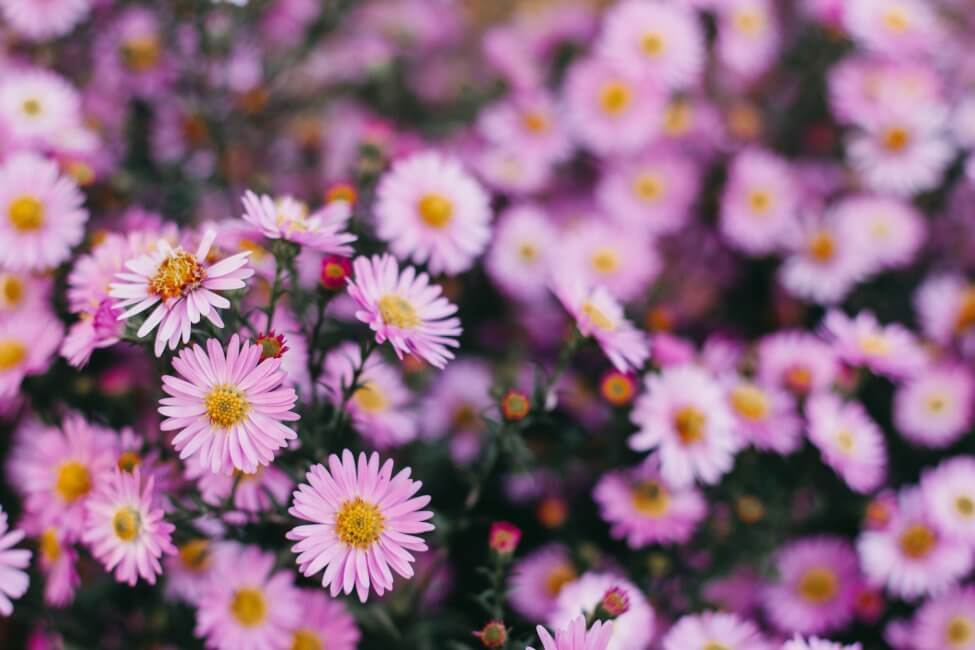 Asters (Aster) Pink Flowers