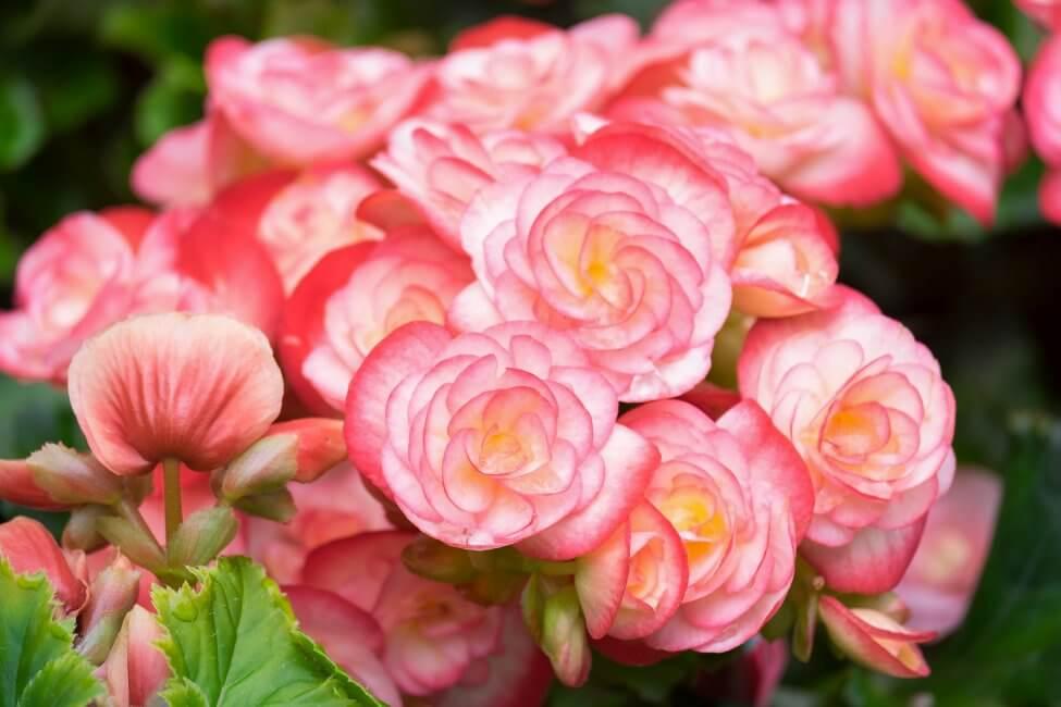Begonia (Begonia) Pink Flowers