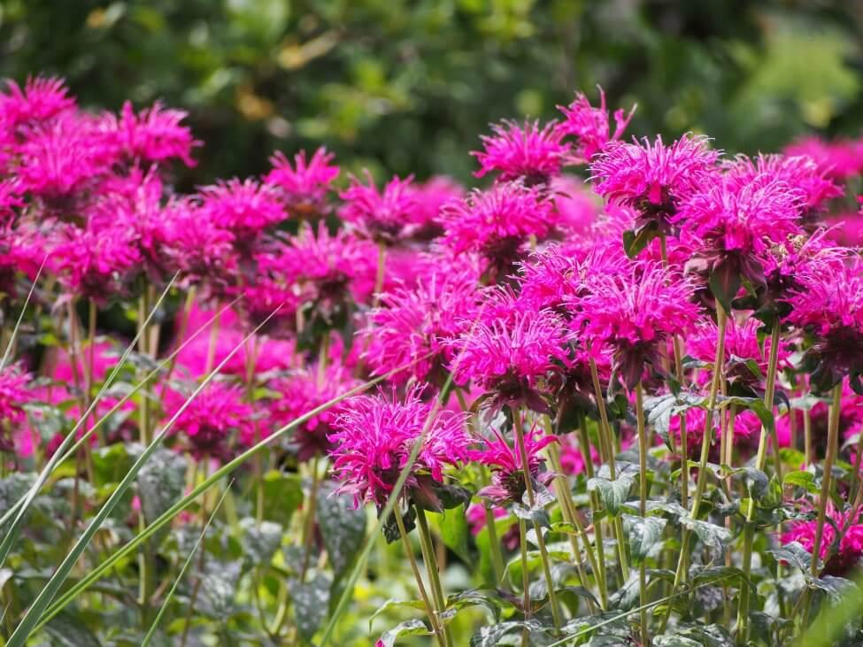 Bee Balm or Wild Bergamot (Monarda fistulosa) Pink Flowers
