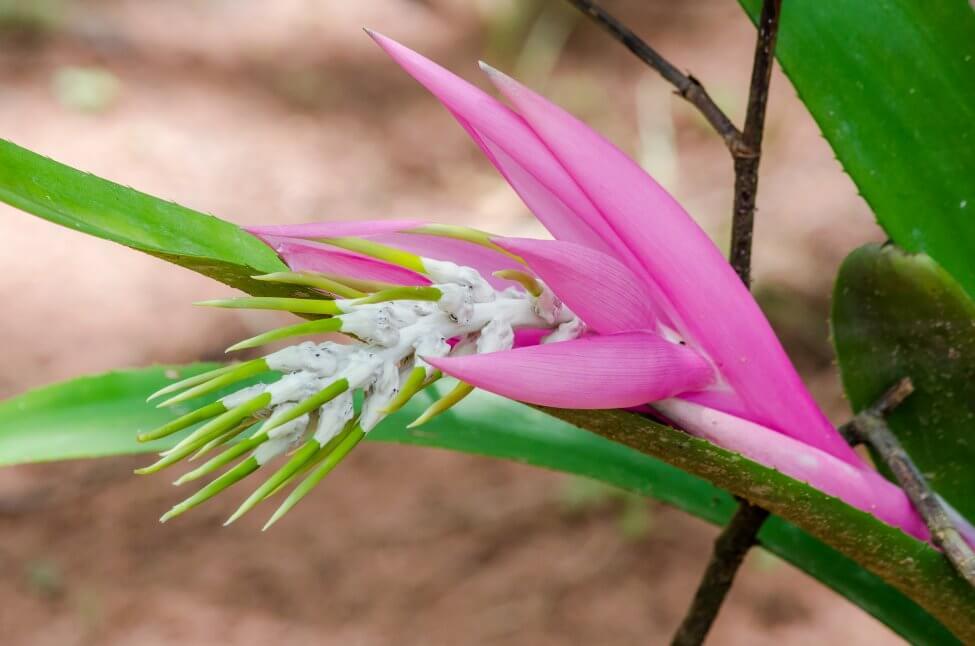 Billbergia Bromeliad (Billbergia spp.)