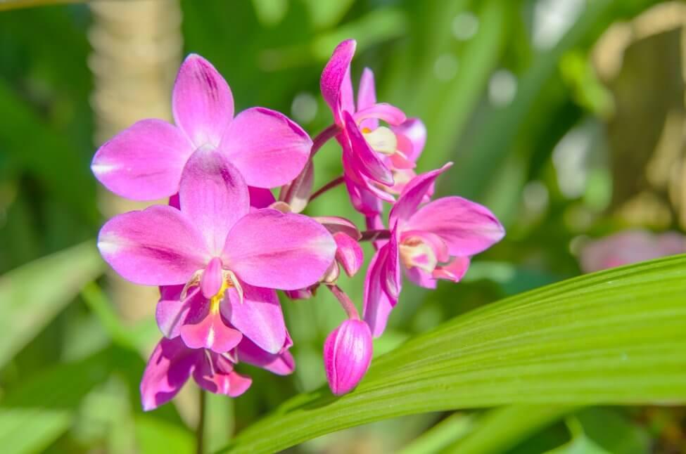Urn Orchid (Bletilla)