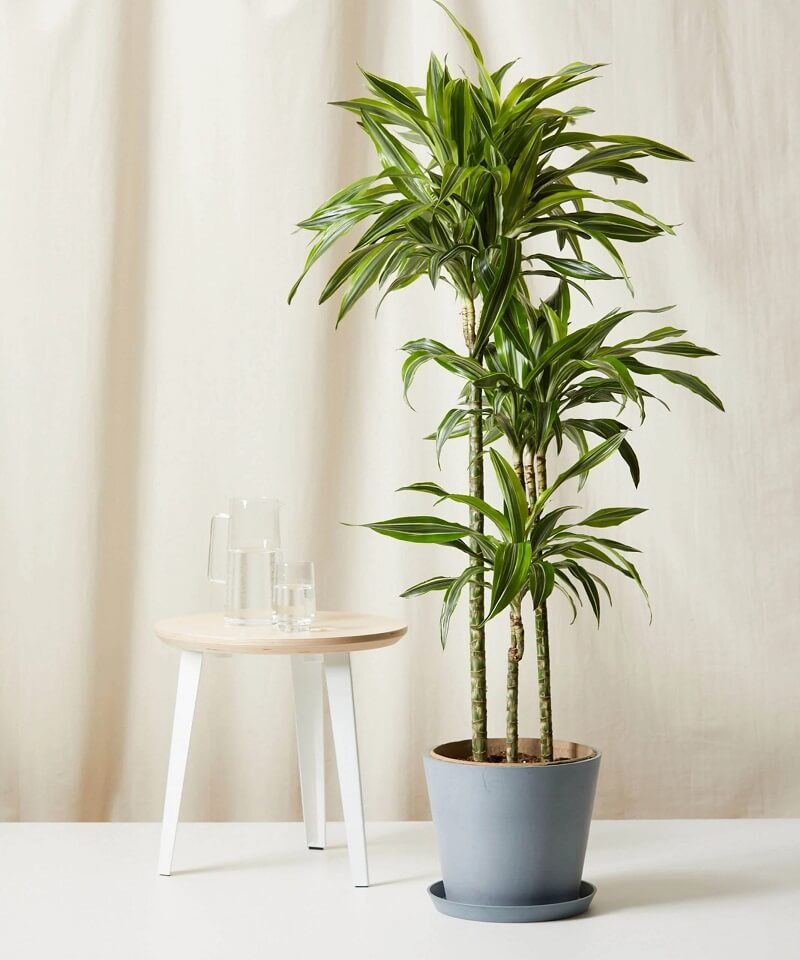 Bloomscape Dracaena Gold Star for Sale