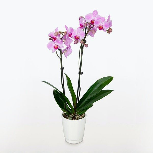 BloomsyBox-Orchid-Delivery-in-NYC