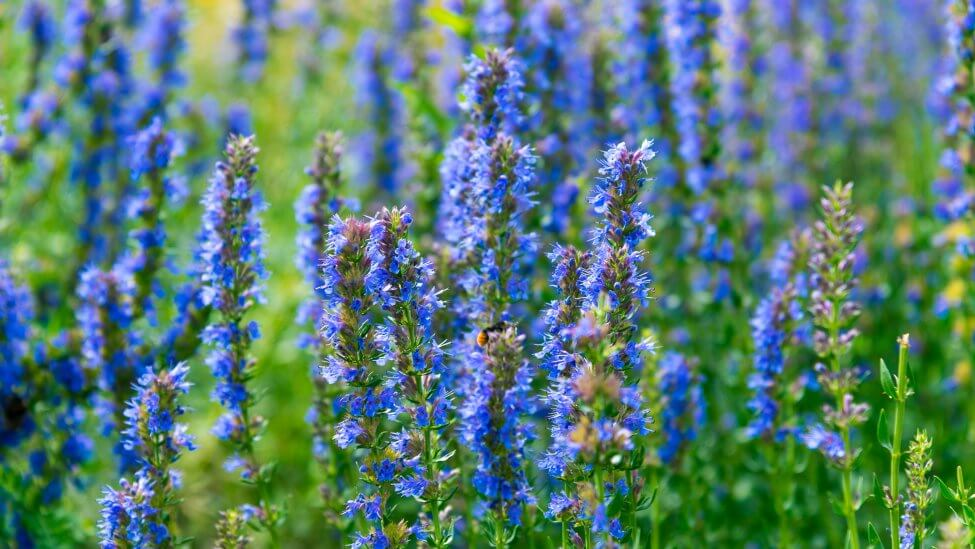 Blue Hyssop Flower Meaning