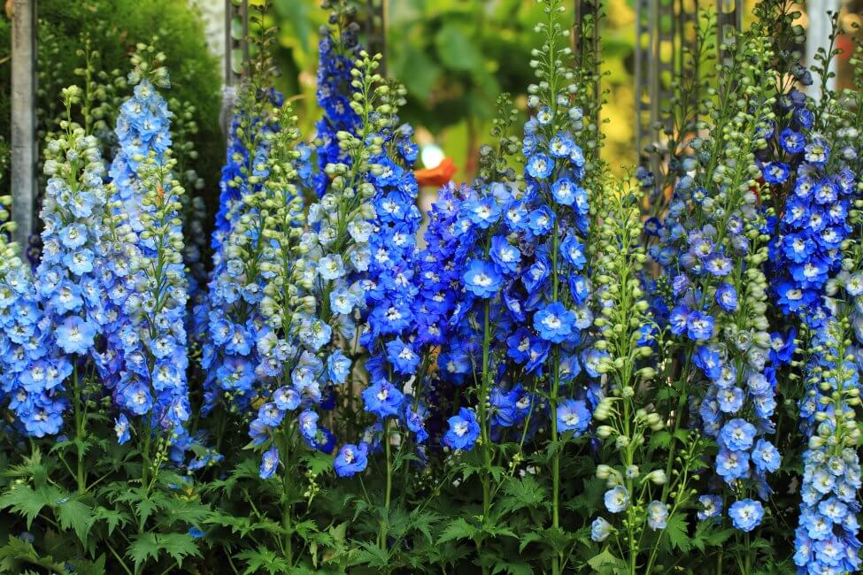 Blue Larkspur Flower Meaning