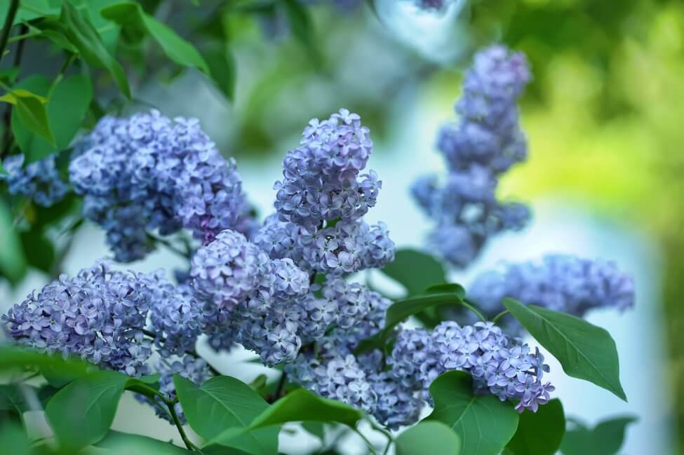 Blue Lilac Flower Meaning