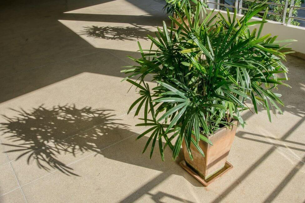 Broadleaf Lady Palm Light Preferences