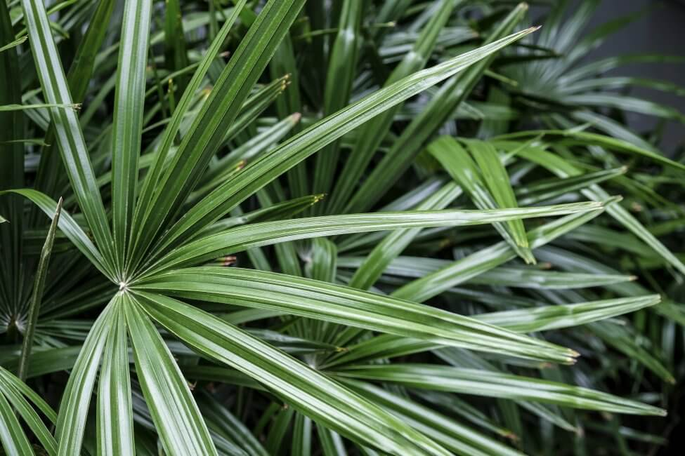 Broadleaf Lady Palm (Rhapis excelsa) Care