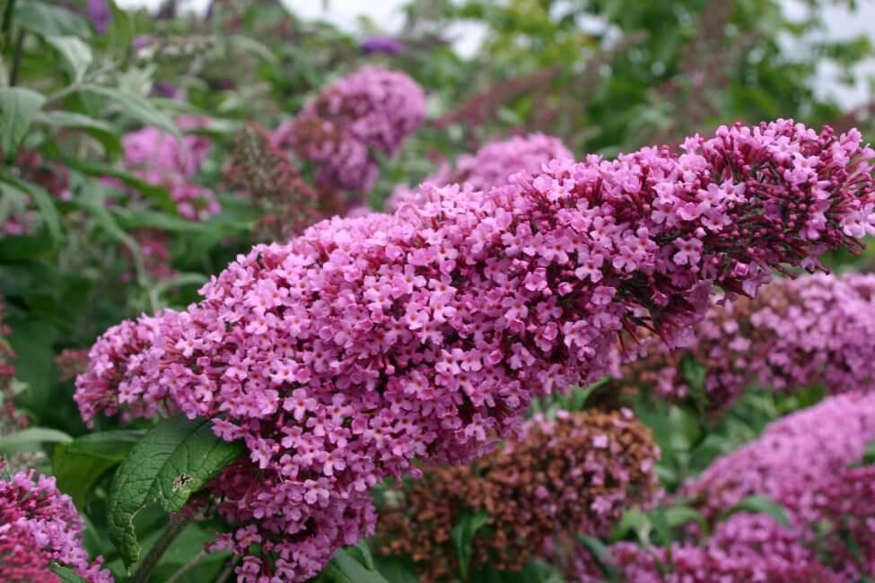Butterfly Bush (Buddleja) Pink Flowers
