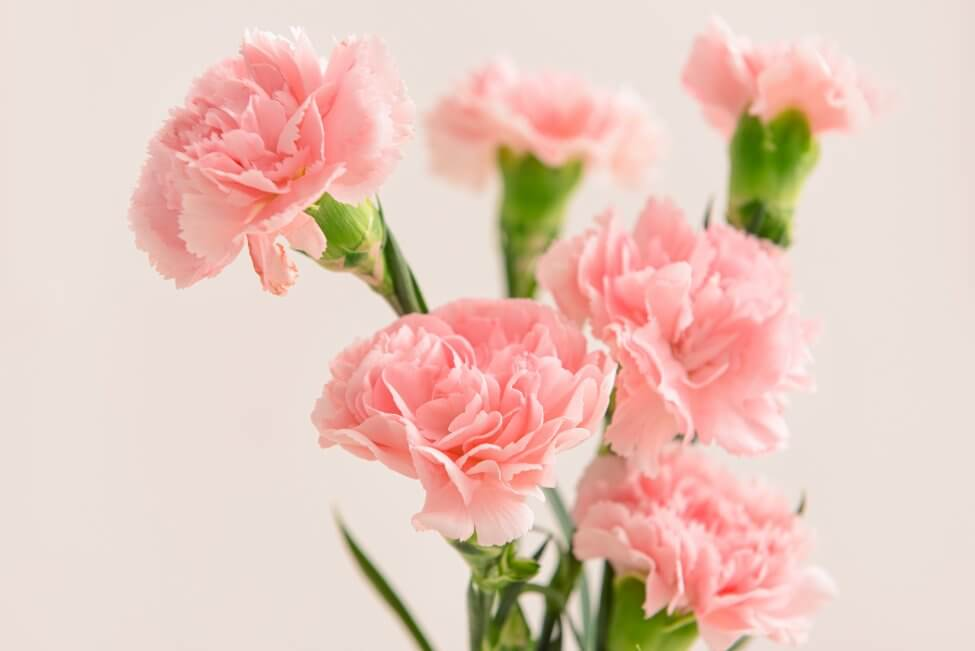 Carnation (Dianthus caryophyllus) Pink Flowers