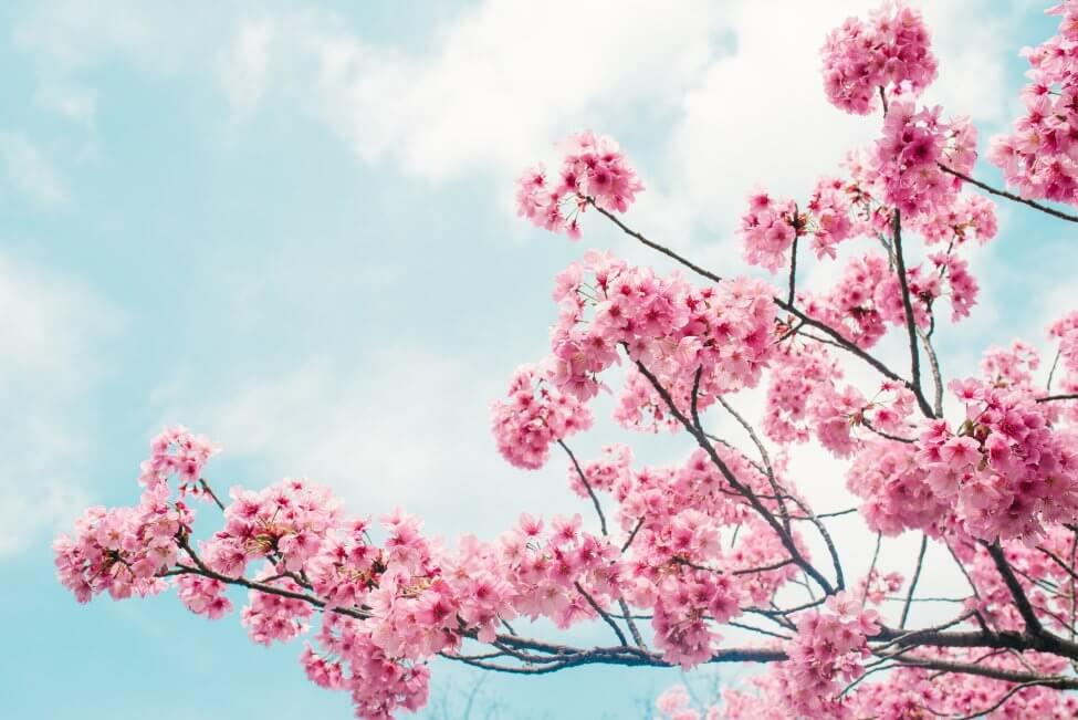 Cherry Blossom (Prunus) Pink Flowers