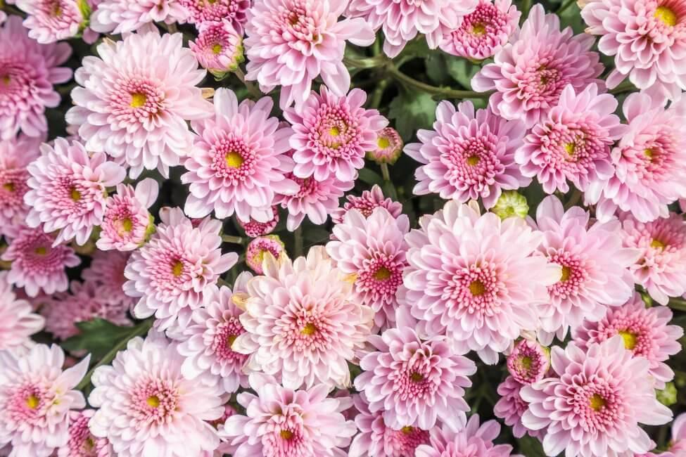 Chrysanthemums (Chrysanthemum) Pink Flowers
