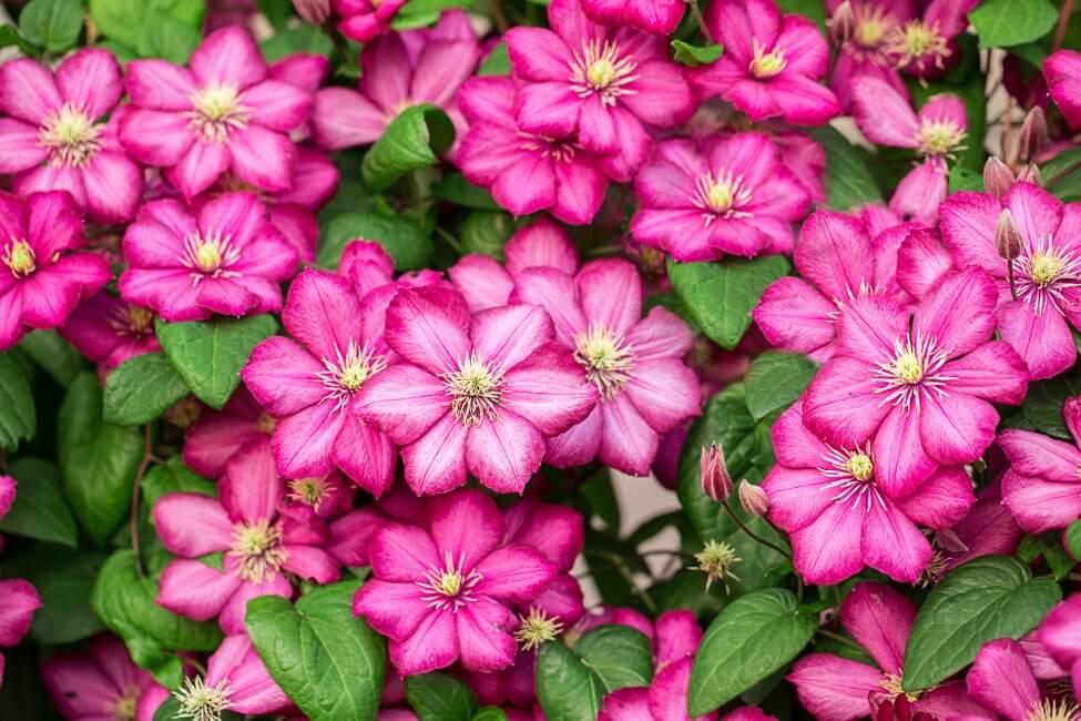 Clematis (Clematis) Pink Flowers
