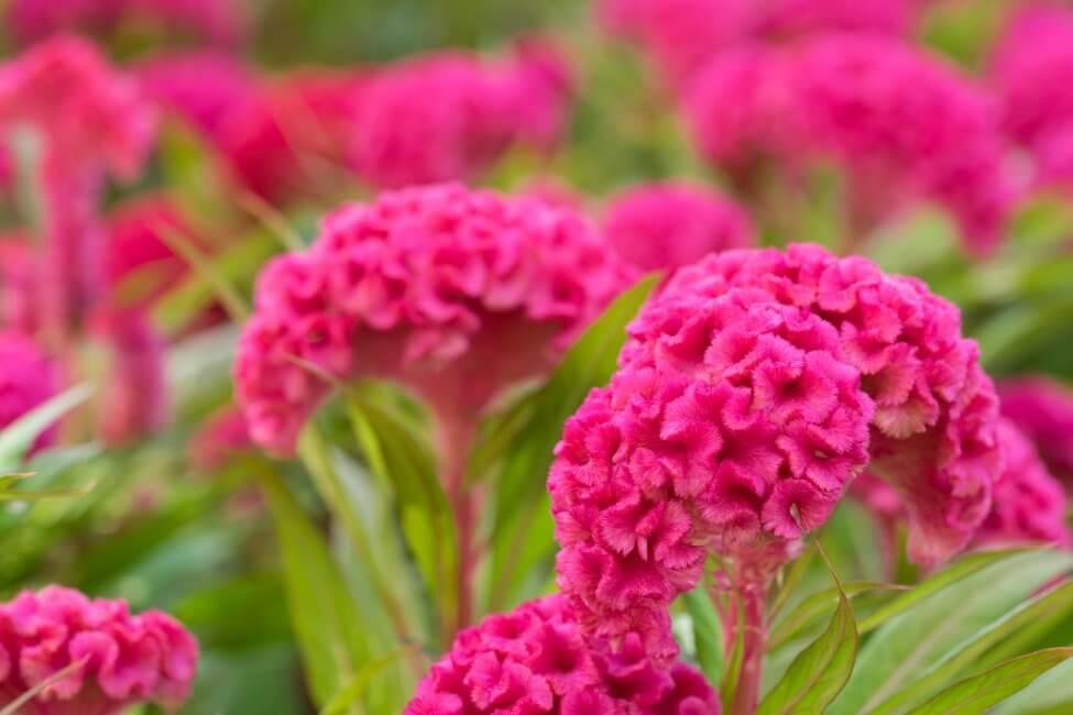 Cockscomb (Celosia) Pink Flowers