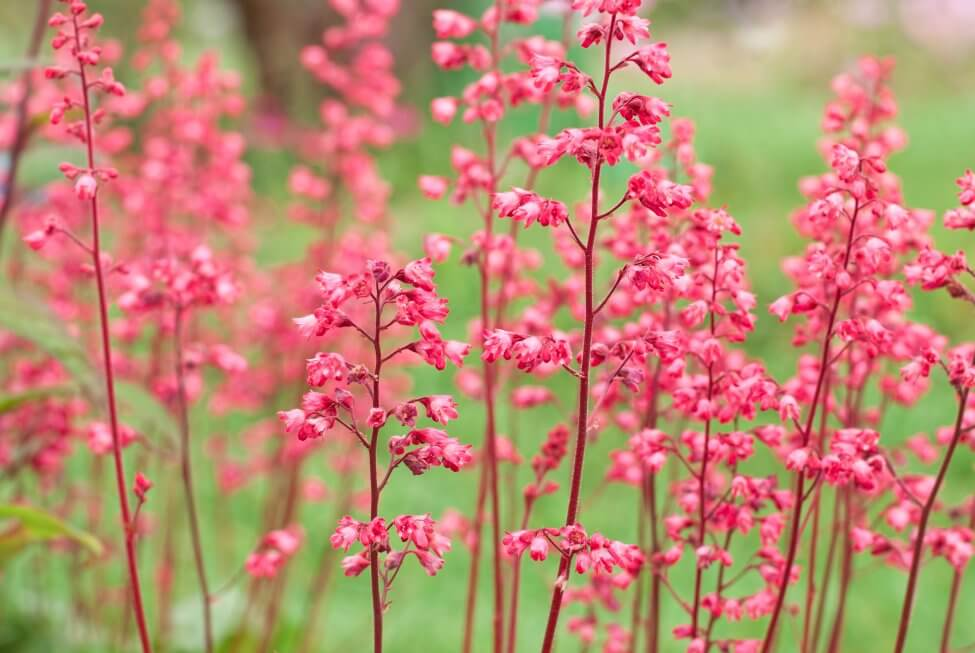 Coral Bells (Heuchera) Pink Flowers