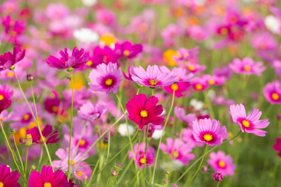 Cosmos (Cosmos) Pink Flowers