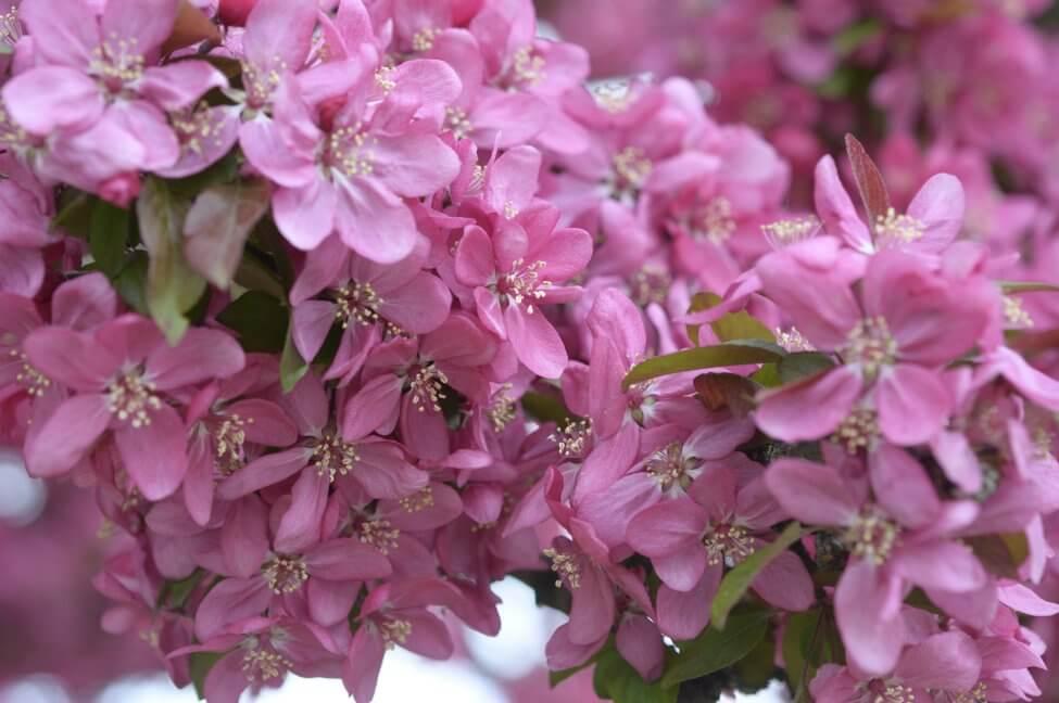 Crabapple Blossom (Malus) Pink Flowers