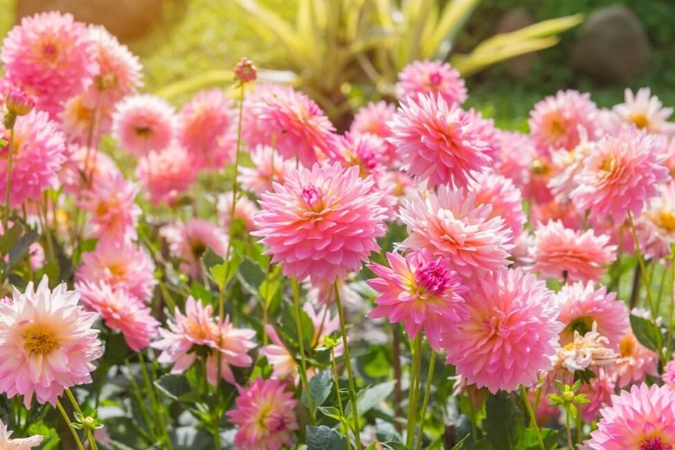 Dahlia (Dahlia) Pink Flowers