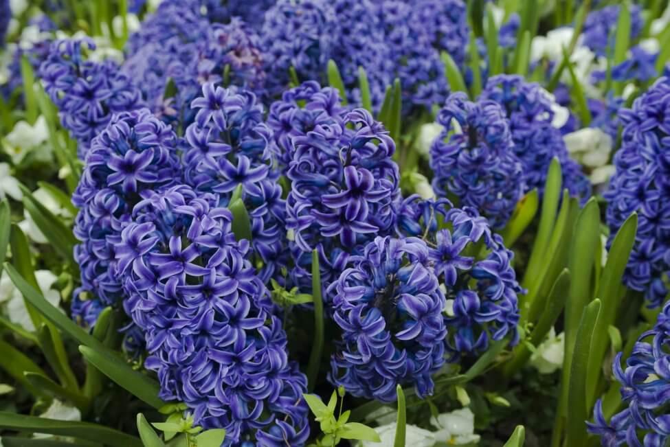 Dark Blue Hyacinth Flower Meaning