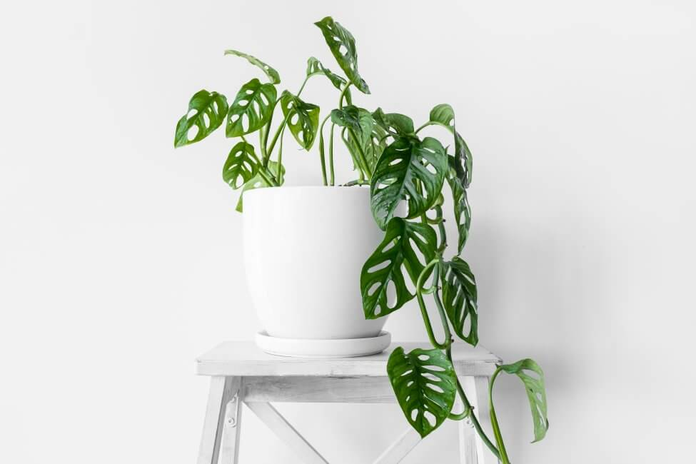 Do all Monstera Plants Typically Need Fertilizing